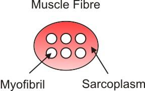 muscle fibre