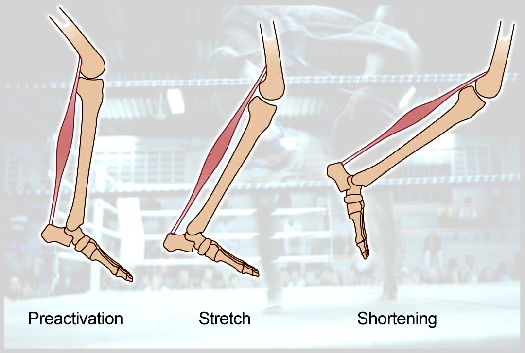 Stretch shortening cycle